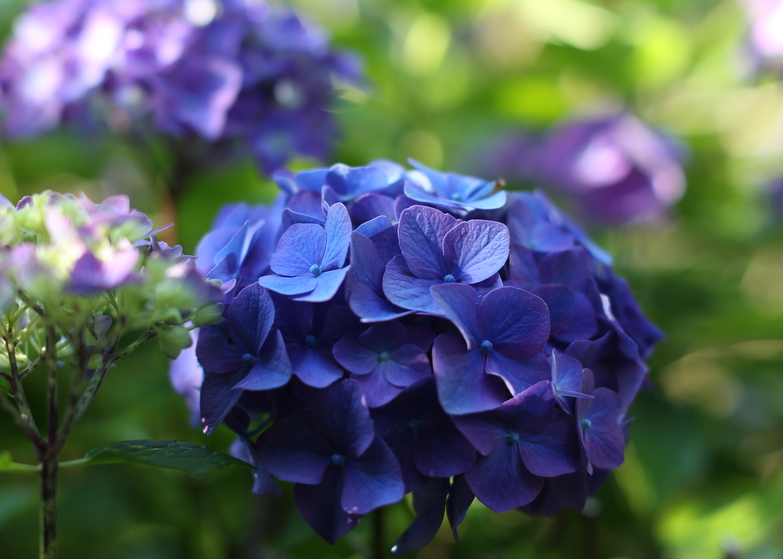 Blue Hydrangea web.jpeg