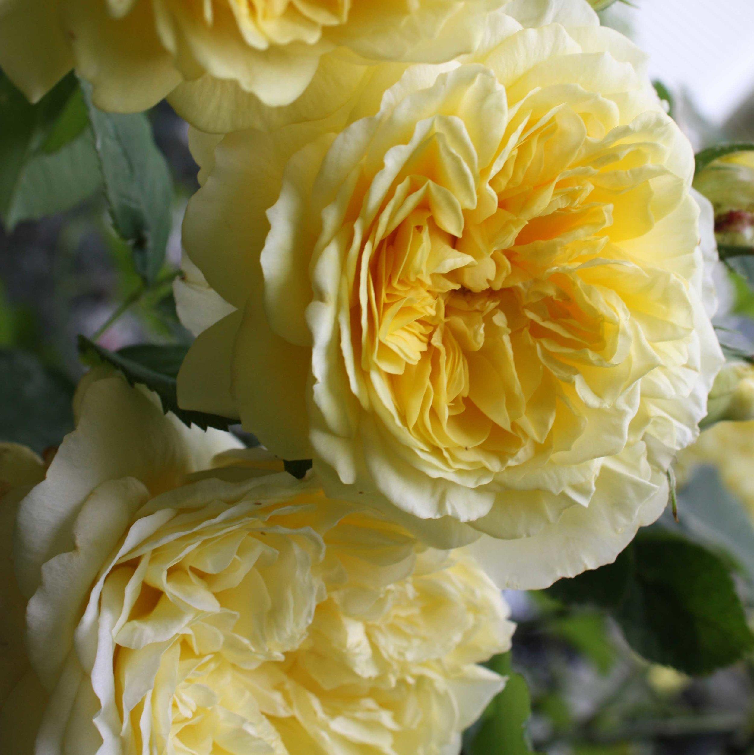 Yellow-roses_web.jpg