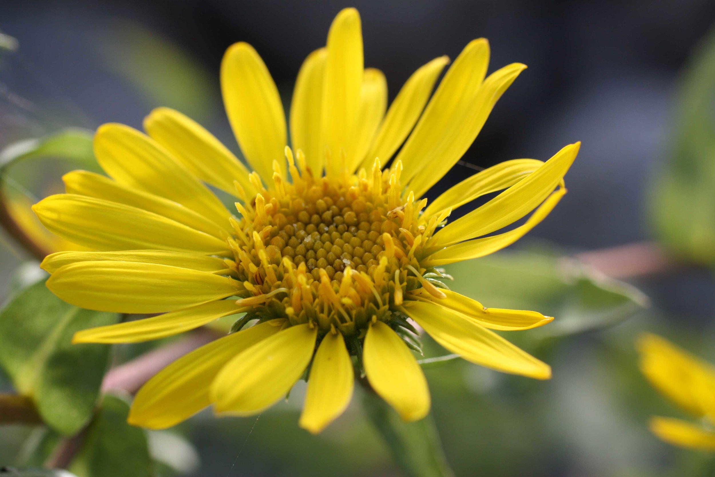 yellow-daisy_web.jpg