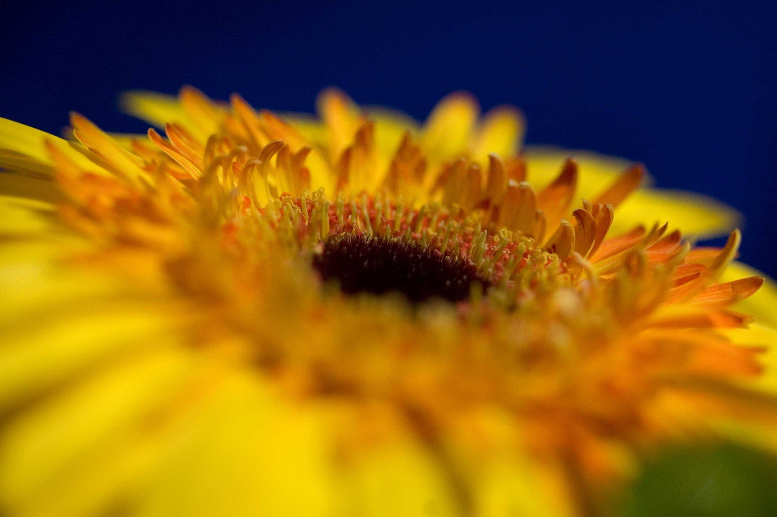 Yellow-gerber-close-up_web.jpg