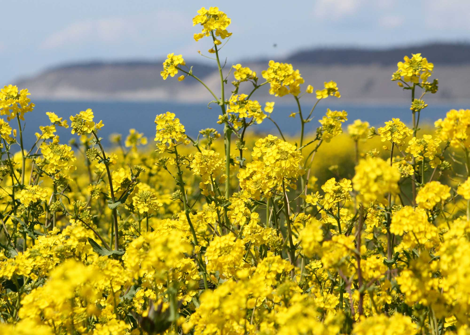 126_Yellow-Field-of-Mustard_rgb_opt_web.jpg