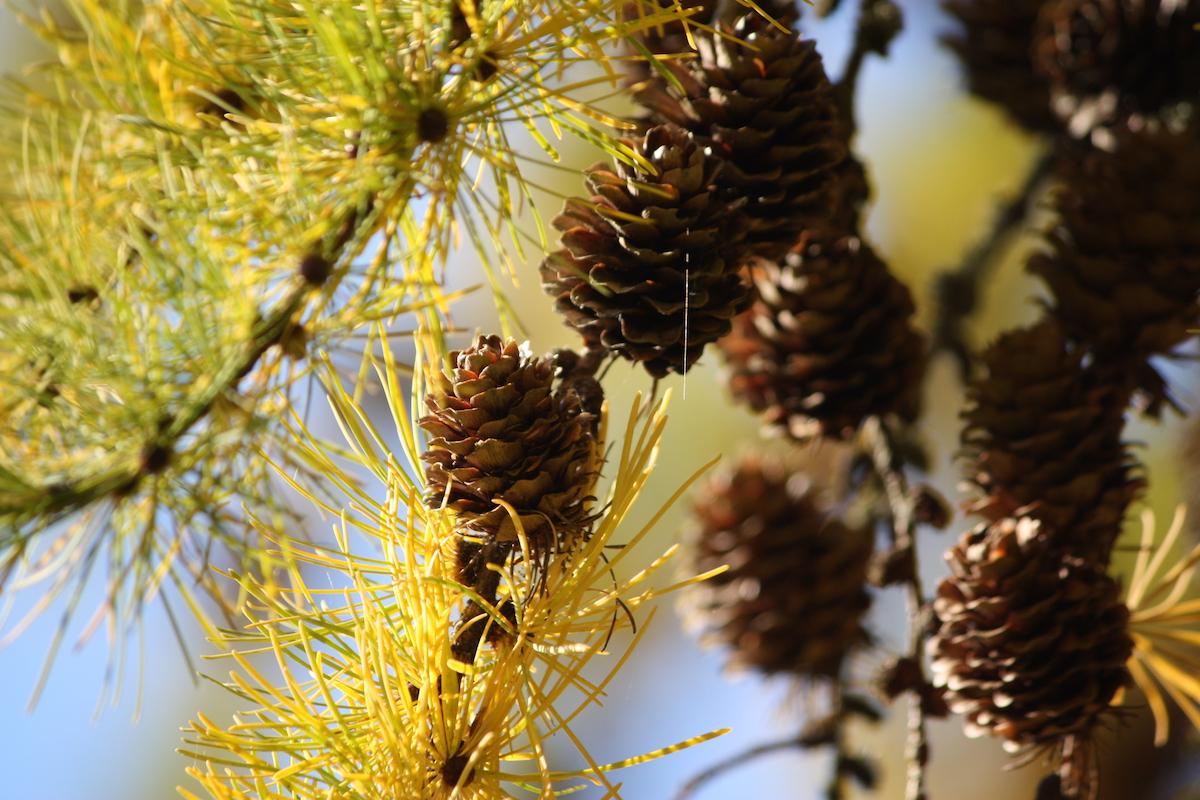yellow pine web.jpeg