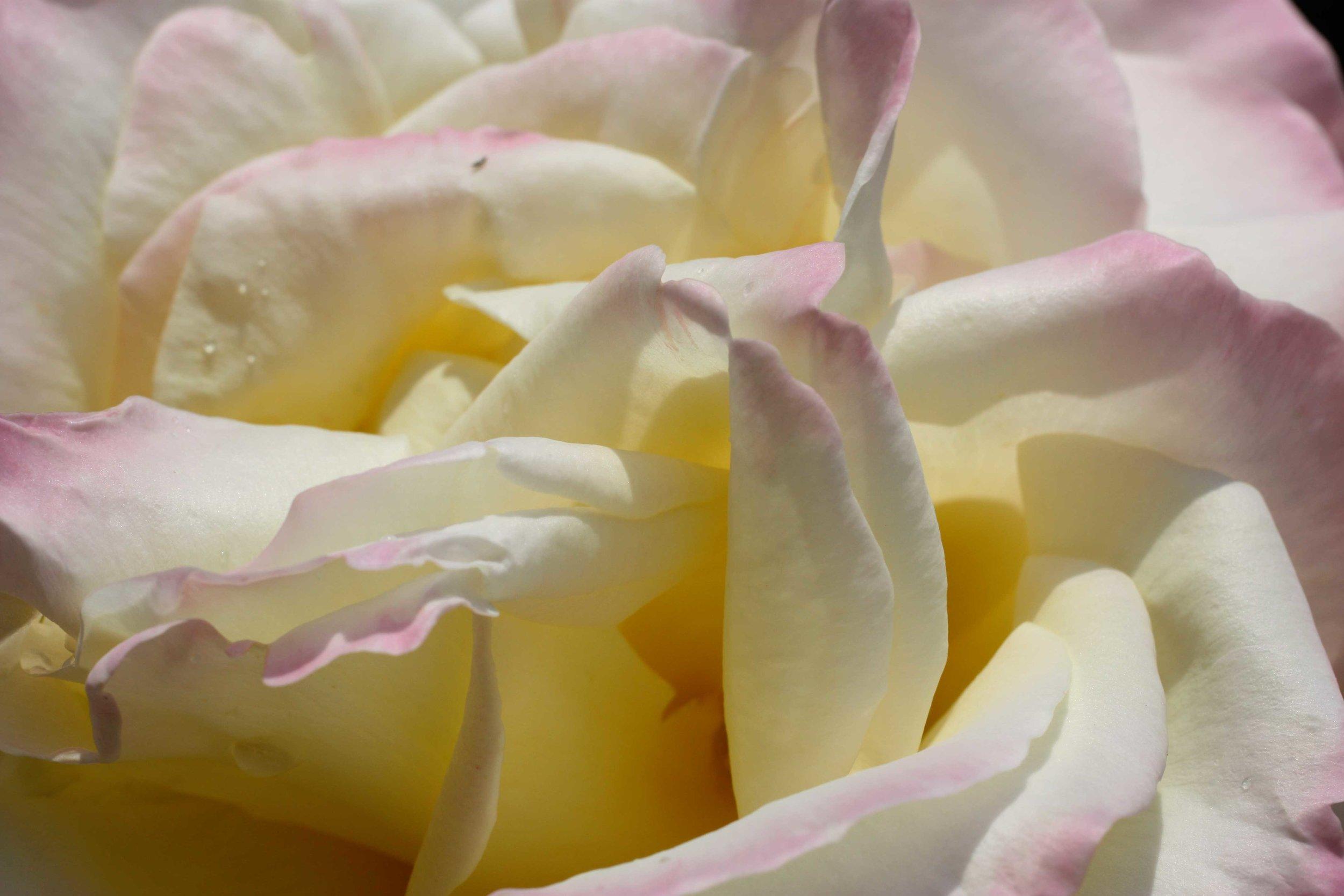 Unfirling-Rose-in-Soft-Pink-web.jpg