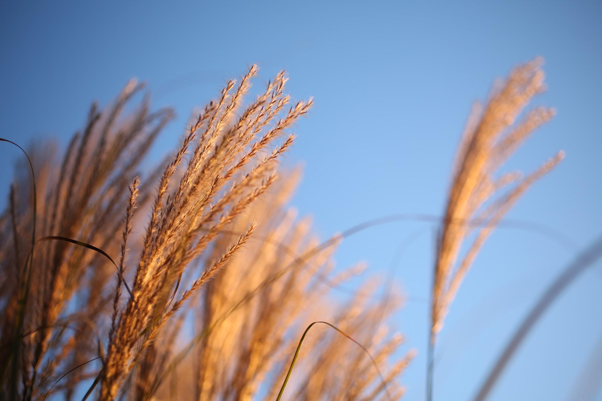 brown grasses blue sky web.jpeg