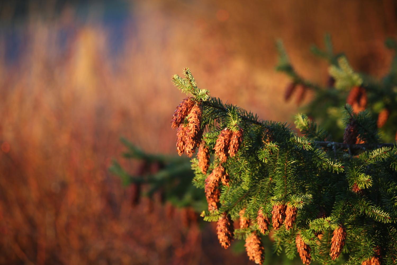 fir brown behind web.jpeg