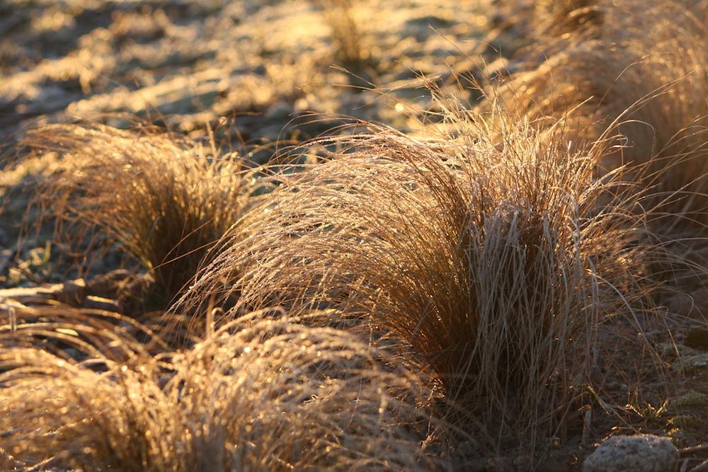 Frosty grasses web.jpeg
