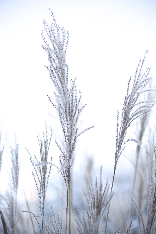 Tall Grass in mist web.jpeg