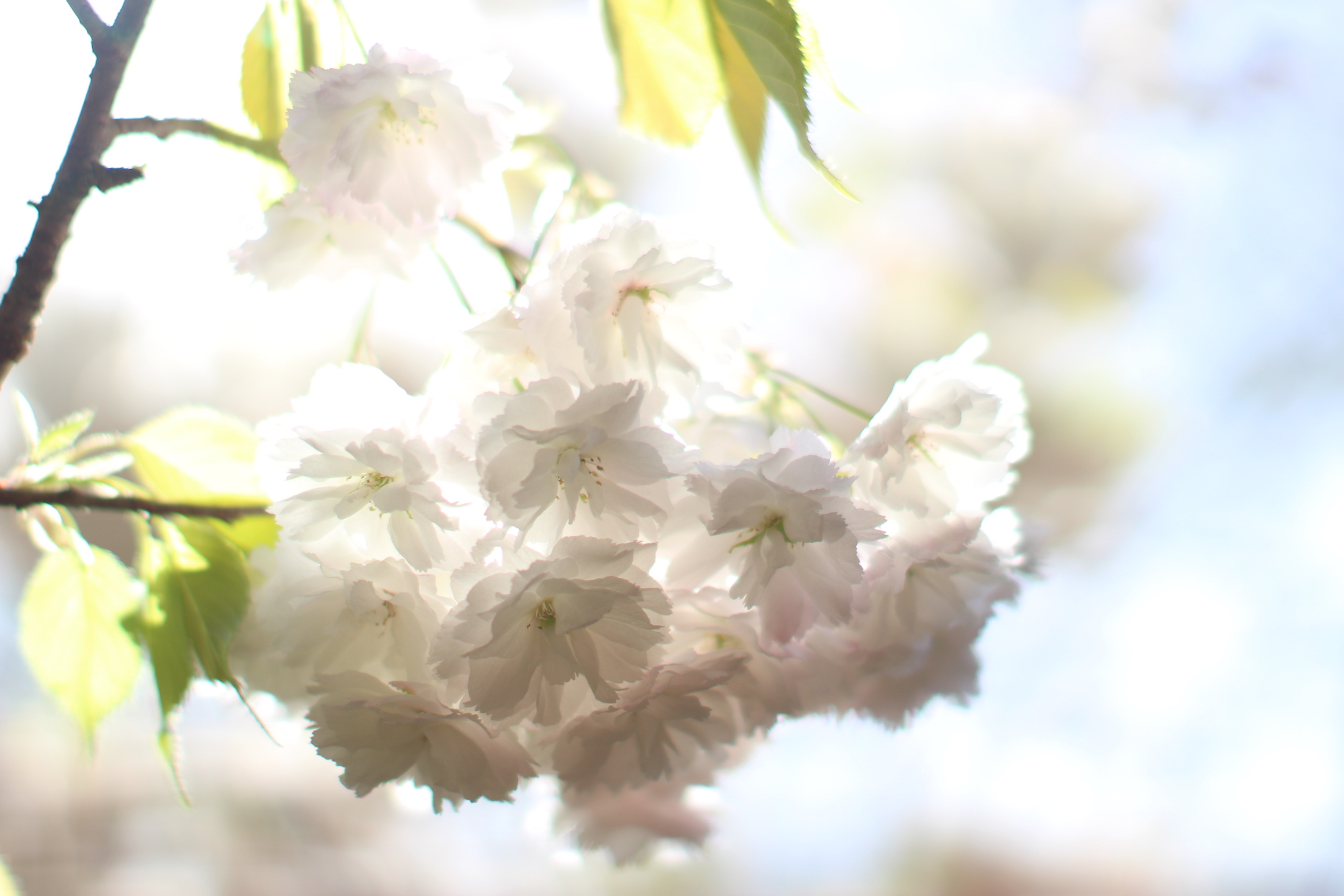 white cherry ethereal web.jpeg