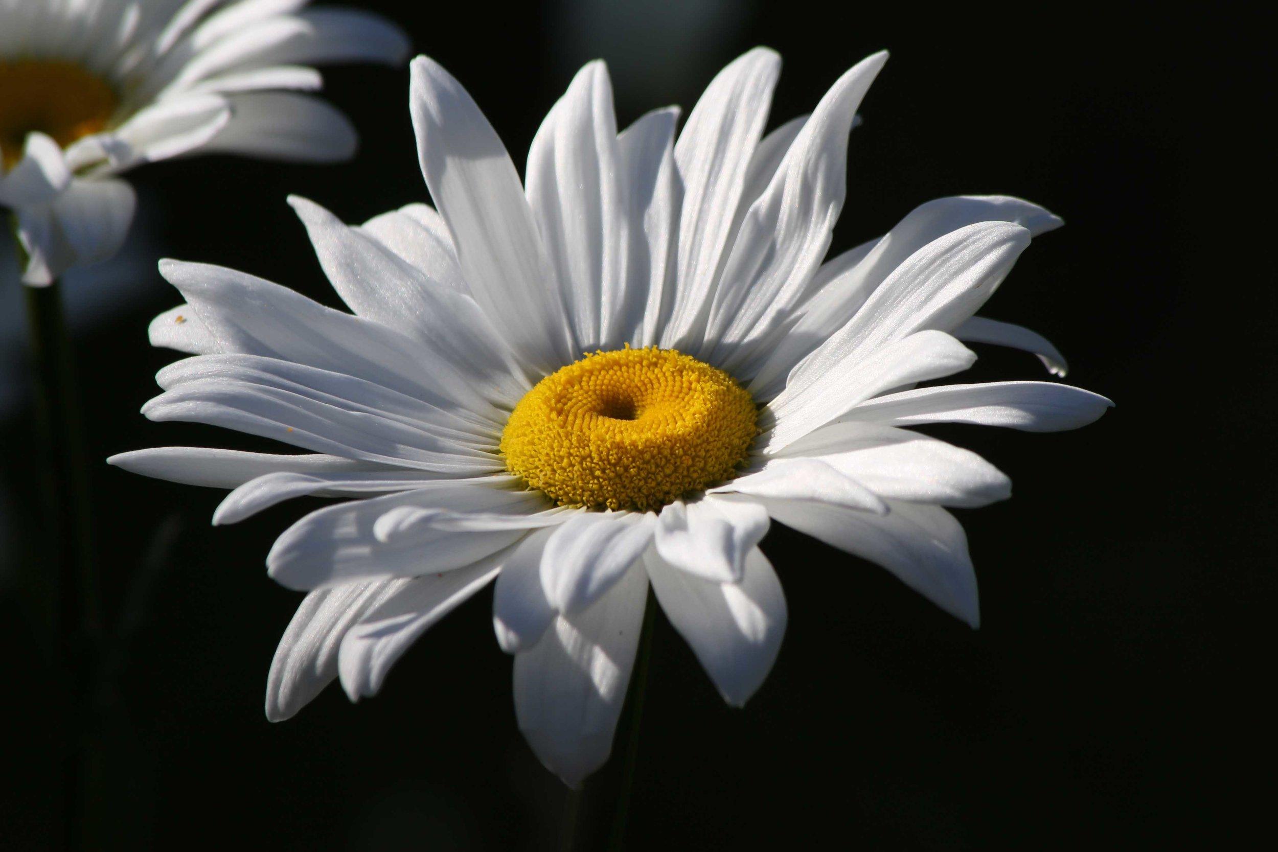 White-Daisy-Black-Background_web.jpg