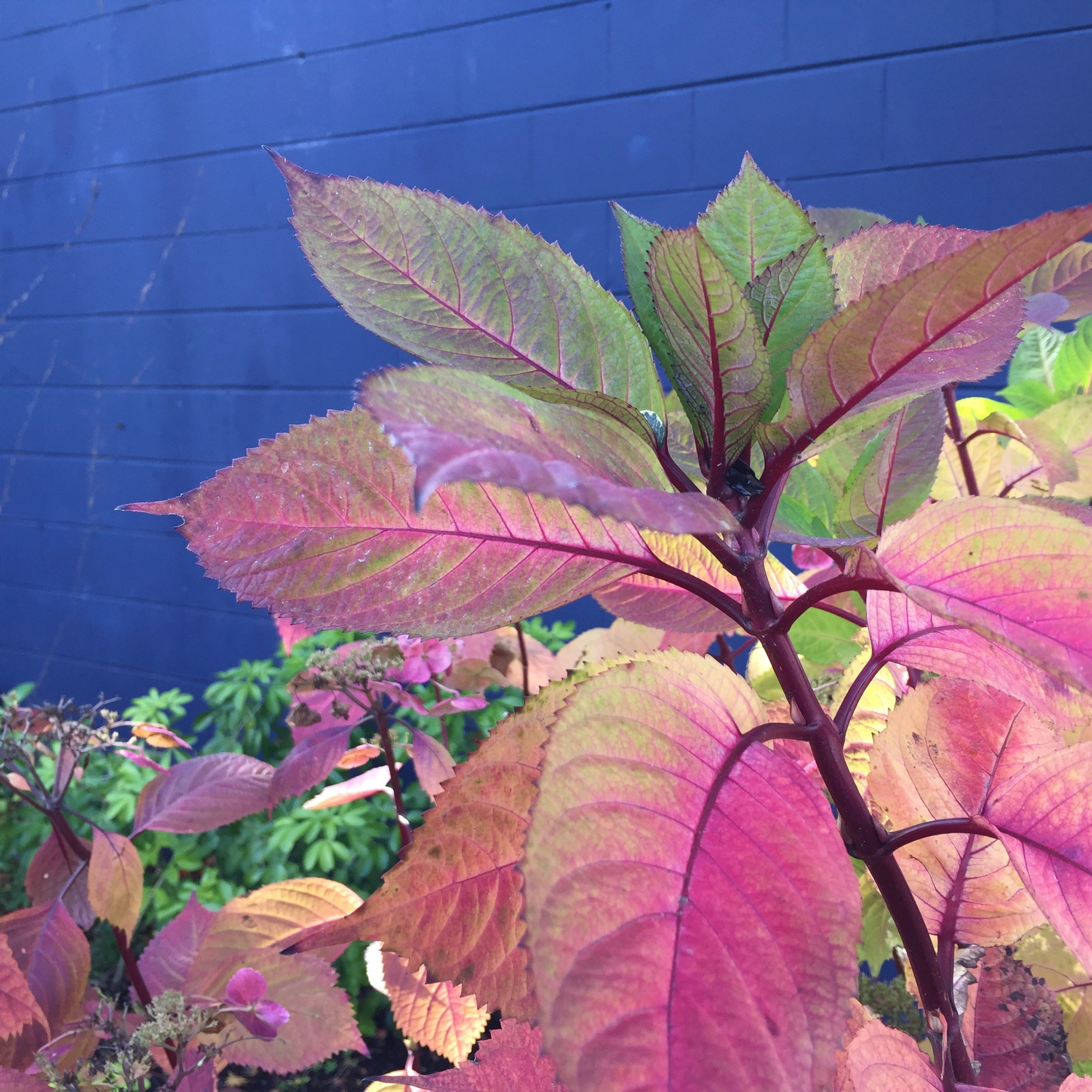 photography, pink leaves against blue wall