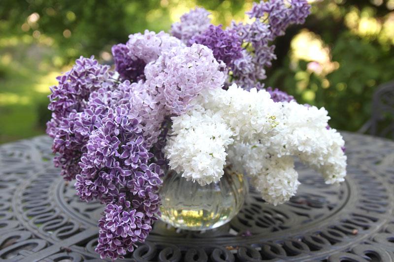 Lilac1b_5.19.jpg