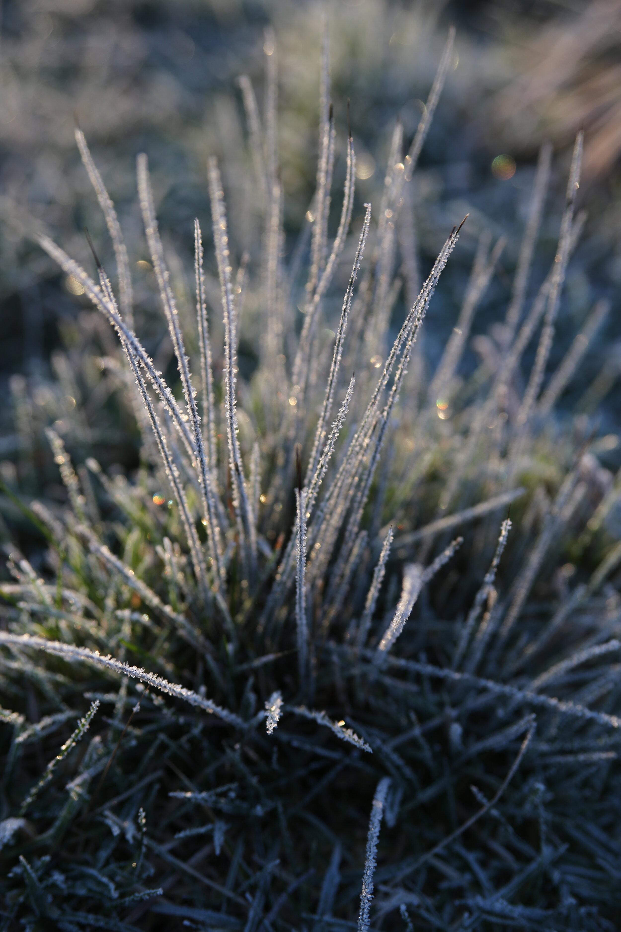 Frosty Grass clump copy.jpeg