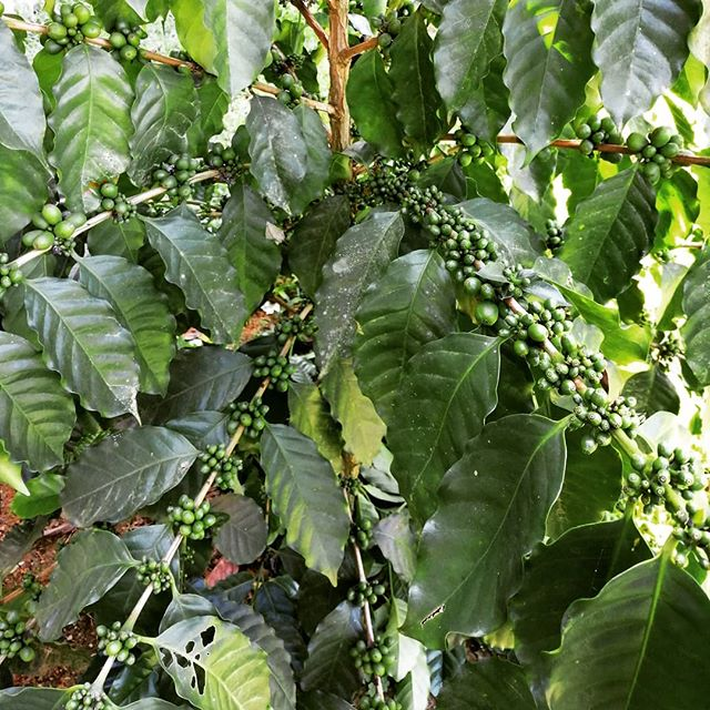 The beginnings of next harvest season are starting to form. Looking forward to seeing these as ripe red cherries on the drying beds come December/January!  #yunicoffeeco #laospecialtycoffee #organicshadegrownarabica #slowandsteady