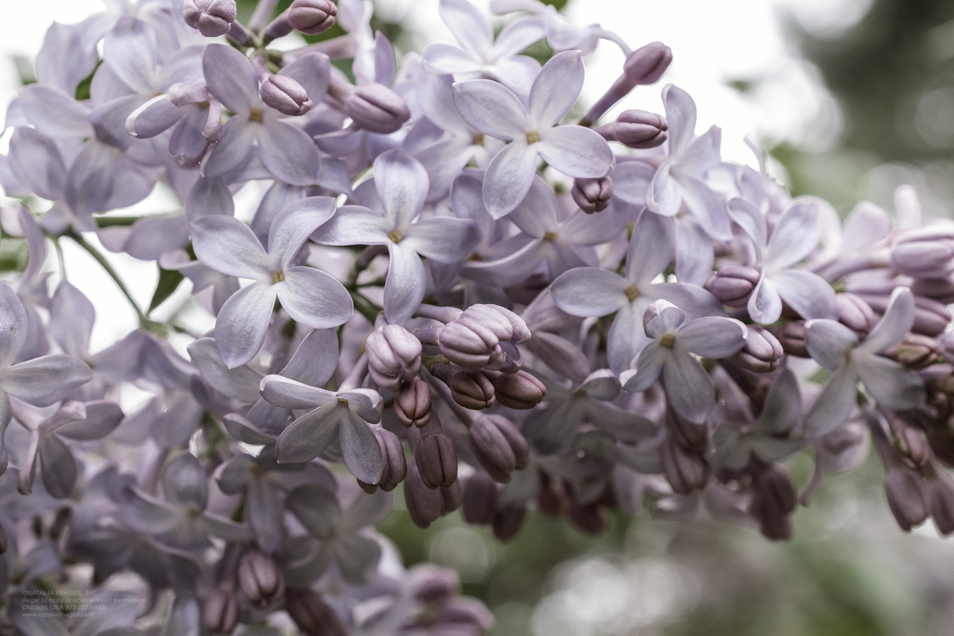 Natalia Images - Common Lilac 3.jpg