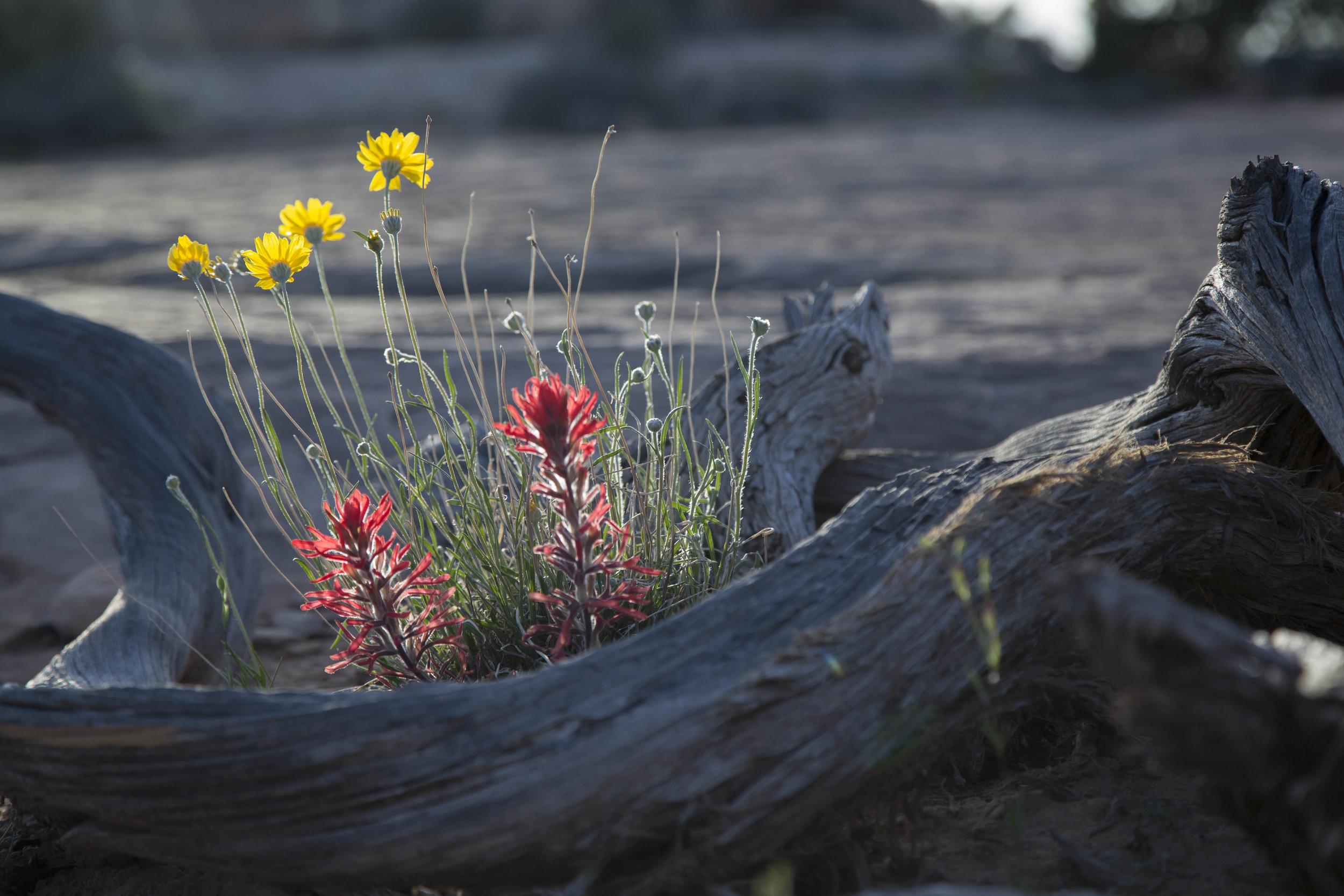 Desert Rose_Dreamed I Saw a Desert Rose.jpg