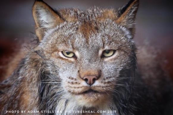Lynx_Alaska.jpg