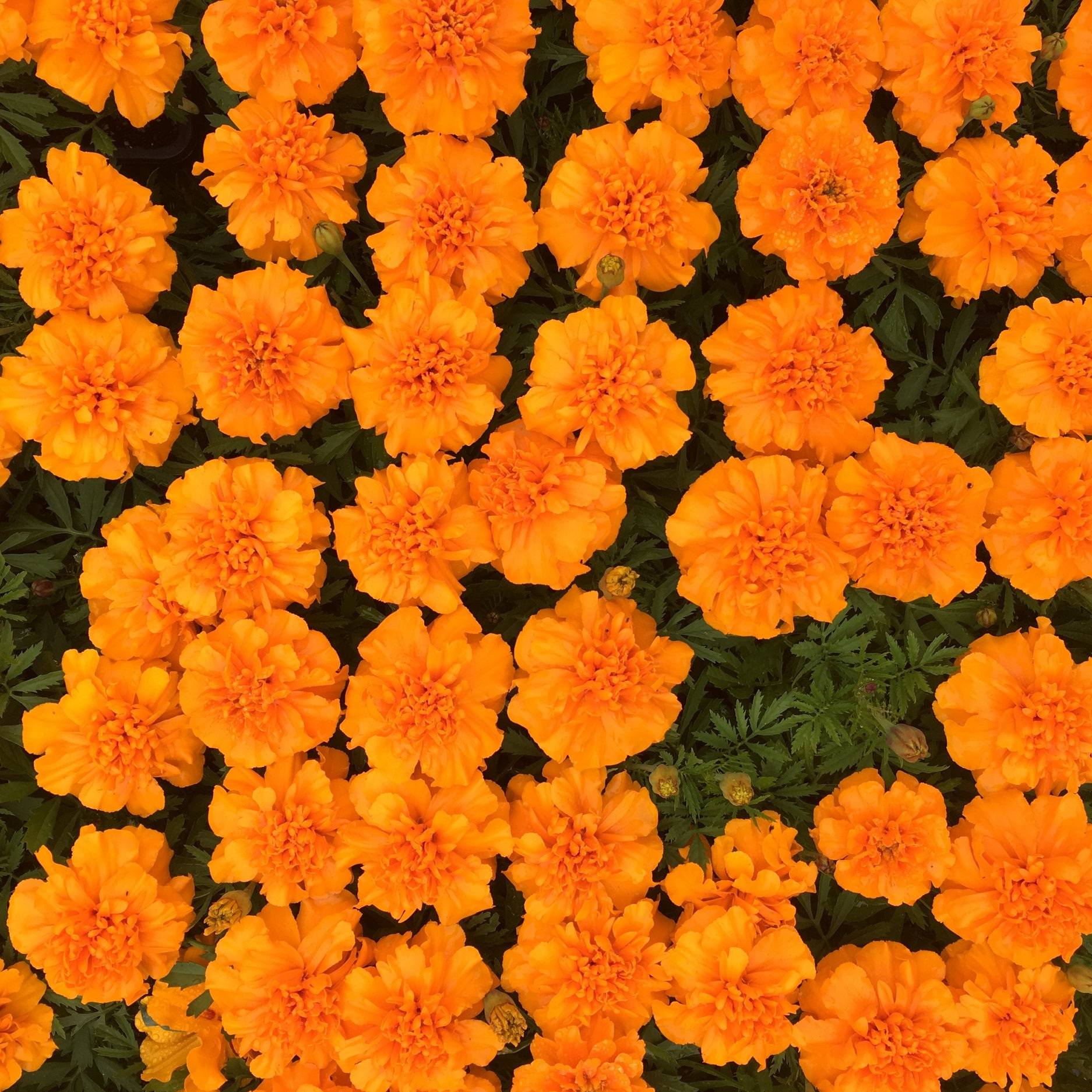 Behind the scenes - Checkout the images and info below for a behind the scenes look at the inspiration and making of Priya Dreams of Marigolds and Masala from the author and illustrator.