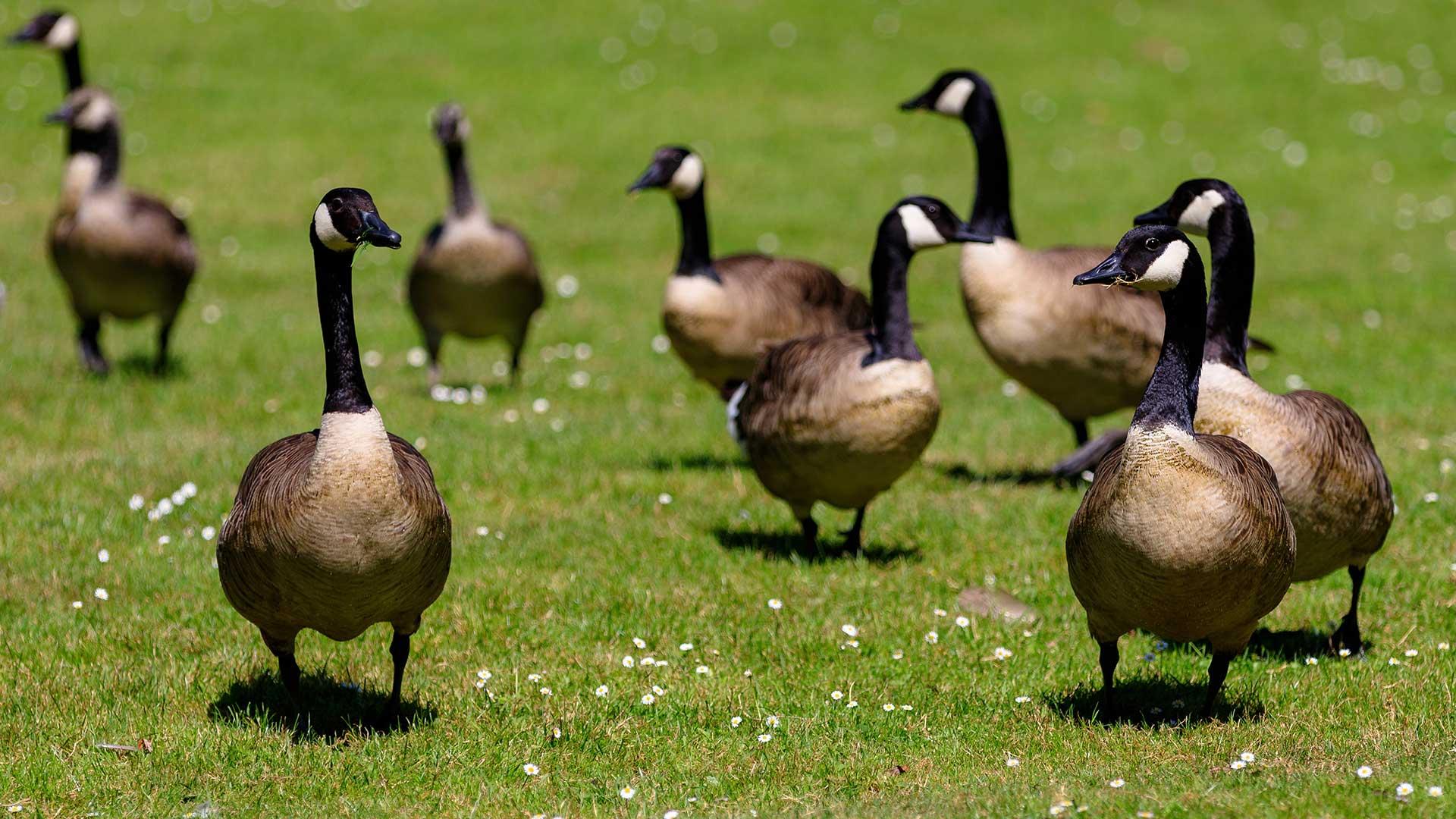 Loring-Park-Now-35%-Goose-Poop.jpg