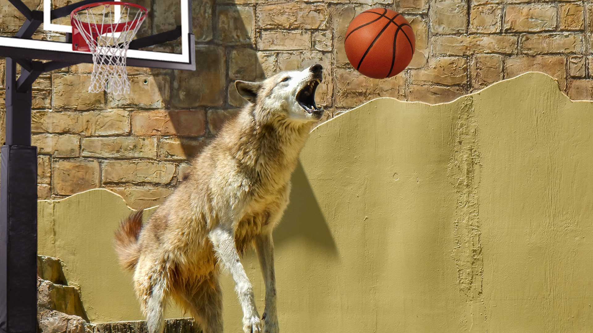 Como-Zoo-in-Disarray-After-Orlando-Magic-Score-96-Inside-Timber-Wolf-Exhibit.jpg