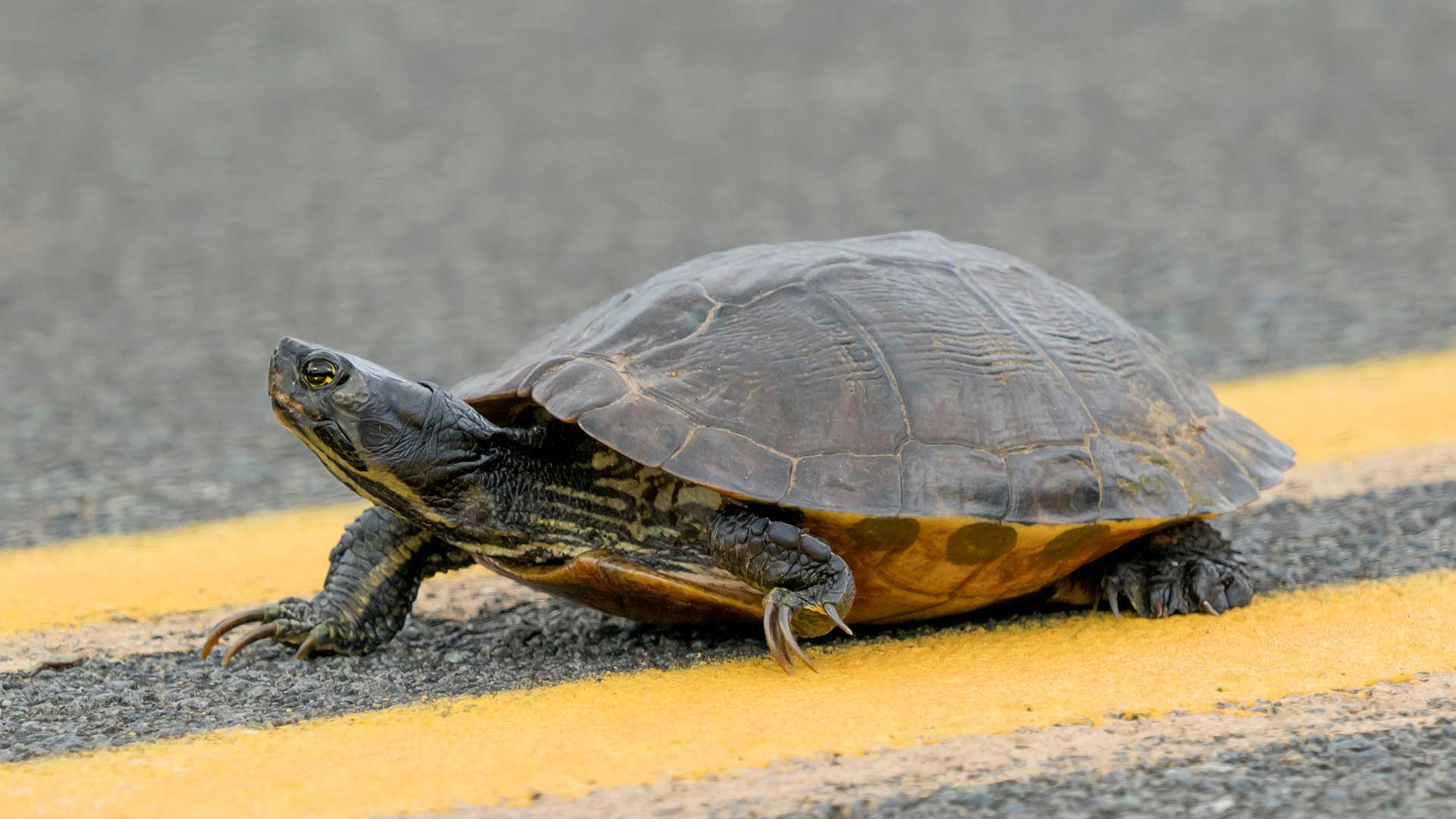 Turtle-In-Middle-Of-I-94-Feels-Alive-For-First-Time.jpg