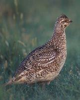 Sharptailed Grouse.jpg