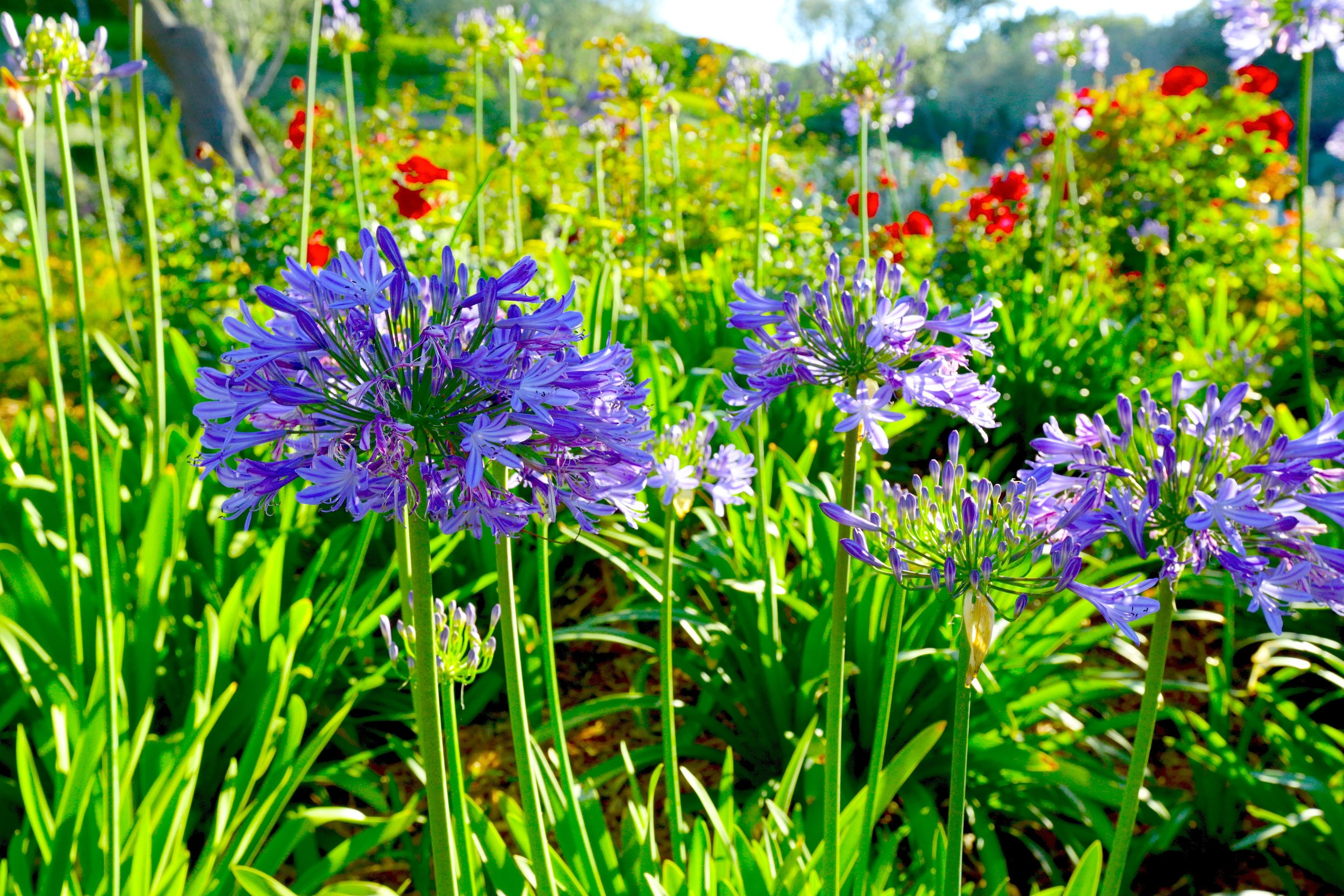 Agapanthus_and_Simplicity_Roses-Blazevich_Garden_1.jpg