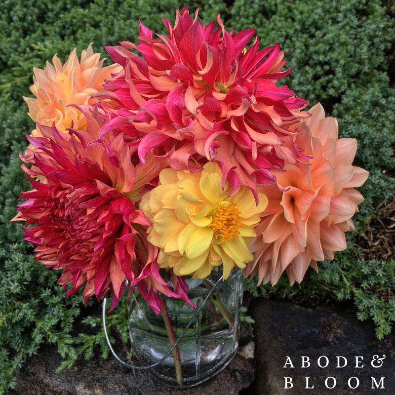 Abode-and-Bloom-Dahlias_Watermark.jpg