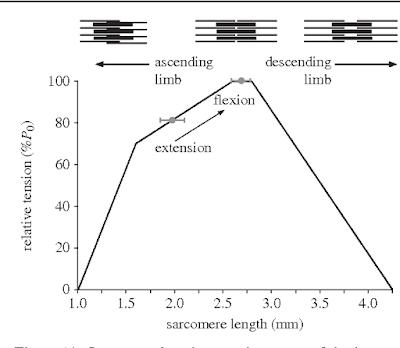 sacromere length.png
