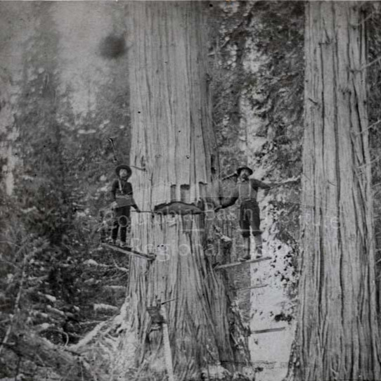 Old Growth Cedar - Tour Stop B