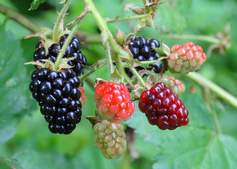 1200px-Ripe,_ripening,_and_green_blackberries.jpg