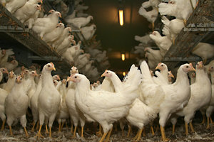 chickens-cage-free-crowded.jpg