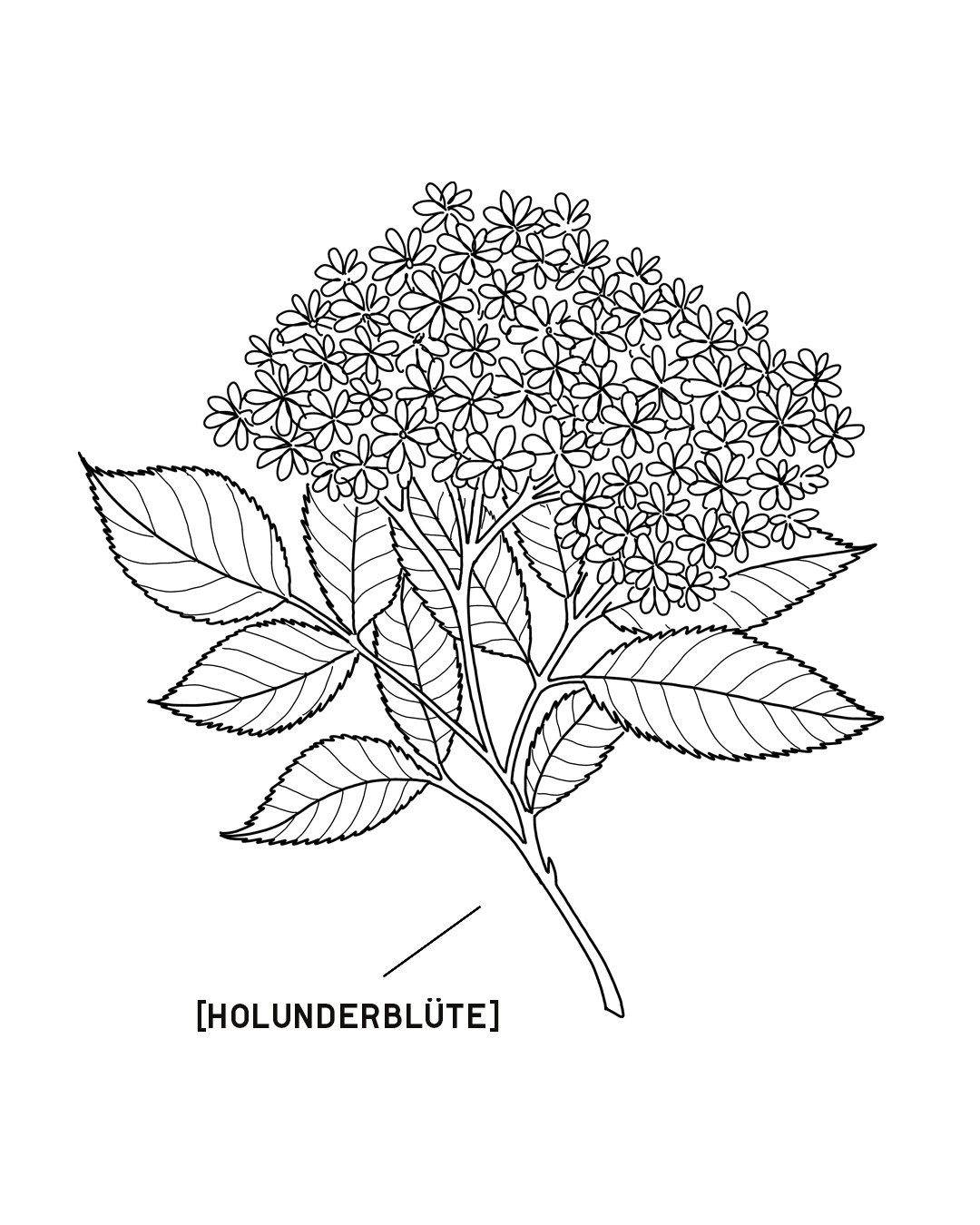 HOLUNDERBLUETE-1350X1080.png