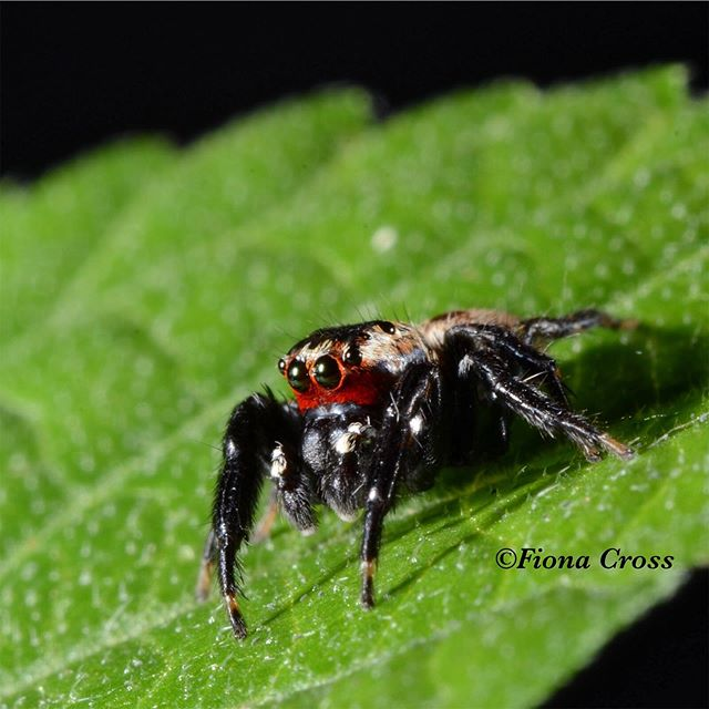 I've been seeing a number of photos this week for the #im_arachnids theme on @invert_macro, and I want to contribute something, too! So, here's a photo of a male Evarcha culicivora - the species that got me interested in studying spiders in the first place. This spider is from the Lake Victoria region of East Africa and it specialises at preying on blood-carrying mosquitoes. Even better, out of all the mosquitoes it encounters in its habitat, Evarcha culicivora shows a special preference for Anopheles, the mosquitoes that are notorious for carrying malaria. While there is not one magic bullet for tackling this disease, it has certainly been a great privilege to work with this spider that targets one of our enemies! #Spider #Spiders #SpidersOfInstagram #Arachnid #ArachnidsOfInstagram #InstaSpider #SpiderDay #JumpingSpider #Salticid #Salticidae #EvarchaCulicivora #AnimalOfTheDay #LoveAnimals #Animals #AnimalFacts #Kenya #KenyaSpider #KenyaWildlife #Macro #MacroPhotography #MacroPerfection #Nature #NaturePhotography #NatureLovers #SciComm #WomenInScience #WomenInSTEM #LoveSpiders #NoFilter
