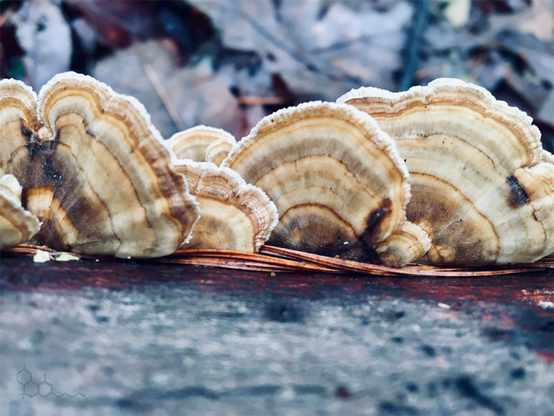 turkey tail mushrooms, Bent Creek, NC