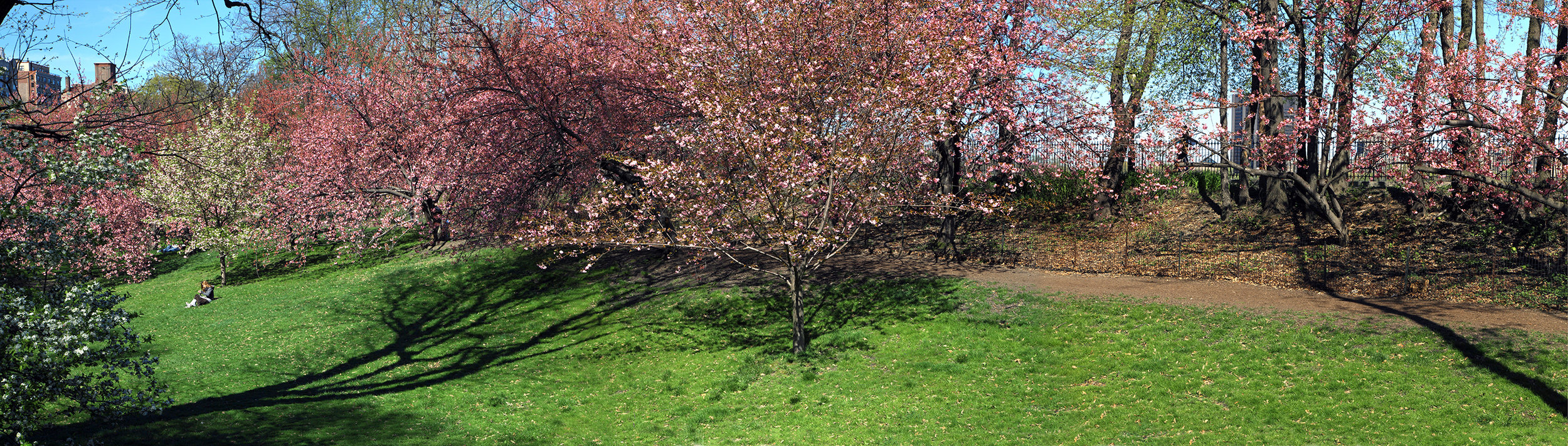 cherry blossom orchard near 90th street.jpg