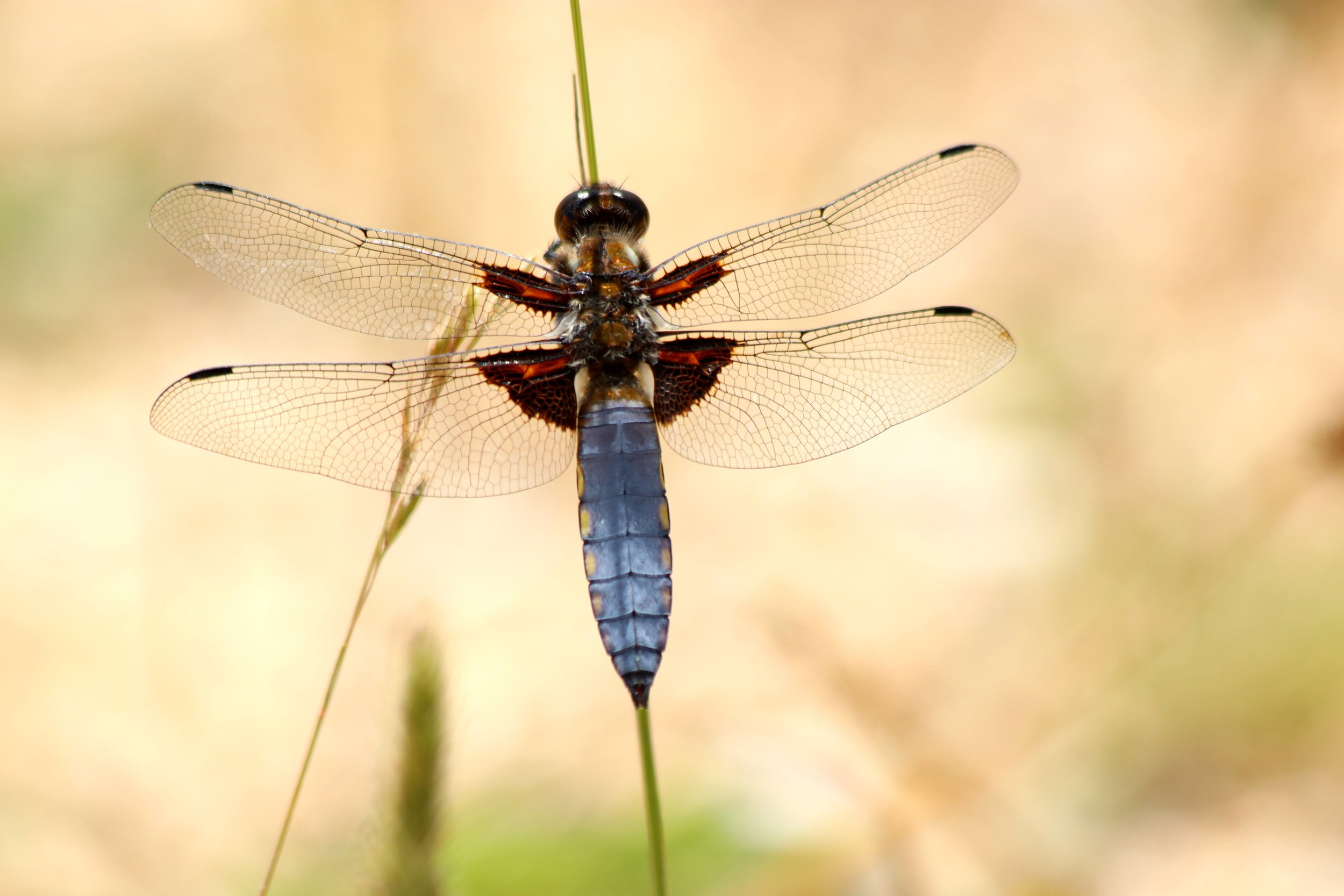 Blue-bodied Chaser Dragonfly (male) 22-06-2018.jpeg