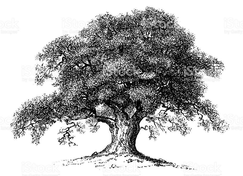 Oak Tree_1.jpg