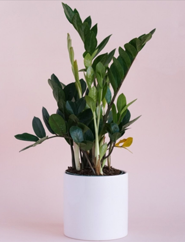 ZZ plant courtesy  @littleleafshop