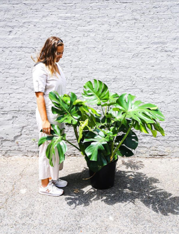 Monstera plant courtesy  @littleleaf