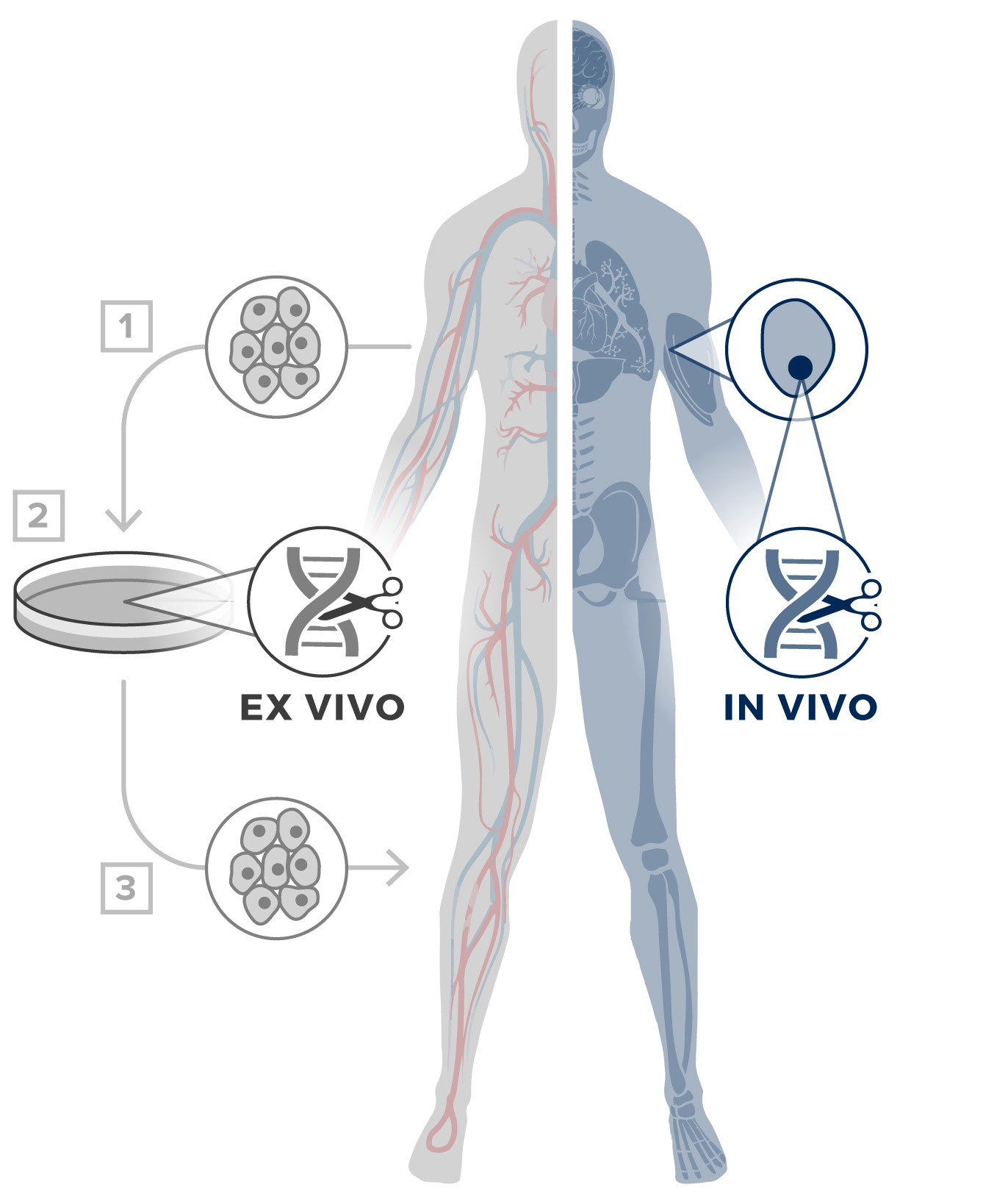 The key to CRISPR's therapeutic potential is in vivo delivery via an adeno-associated virus (AAV).
