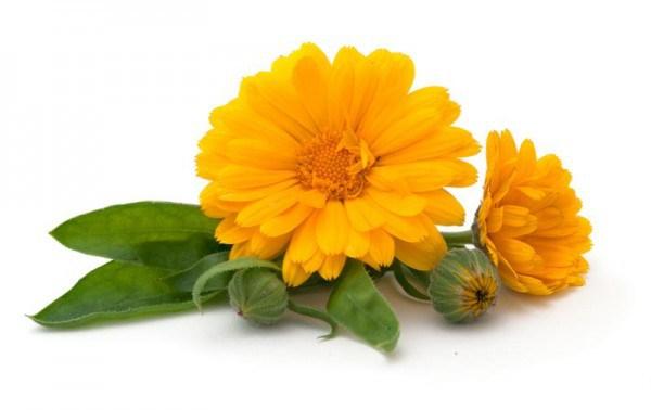 Calendula Flower | Mindfully Made For You
