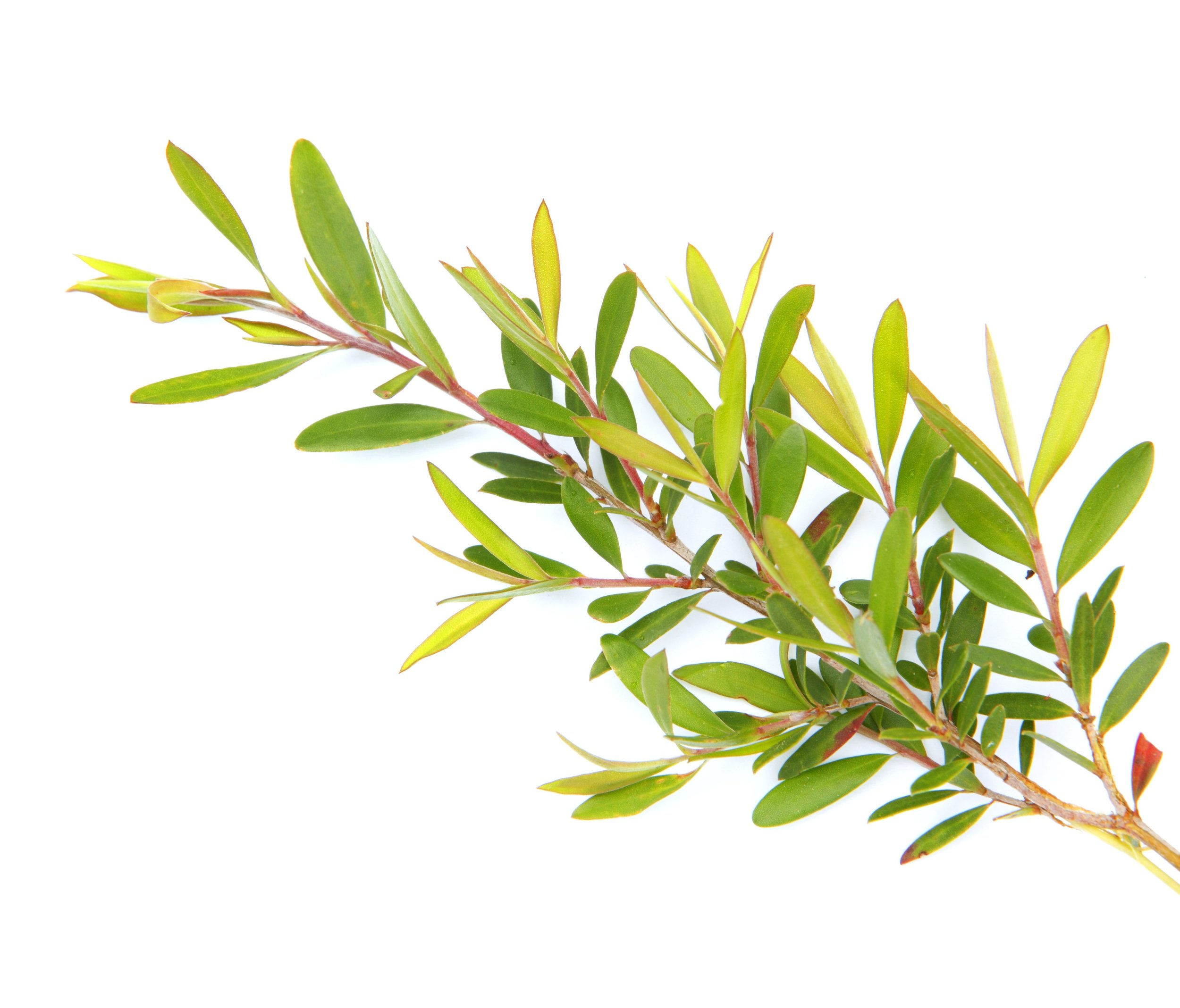 Tea Tree Essential Oil | Mindfully Made For You