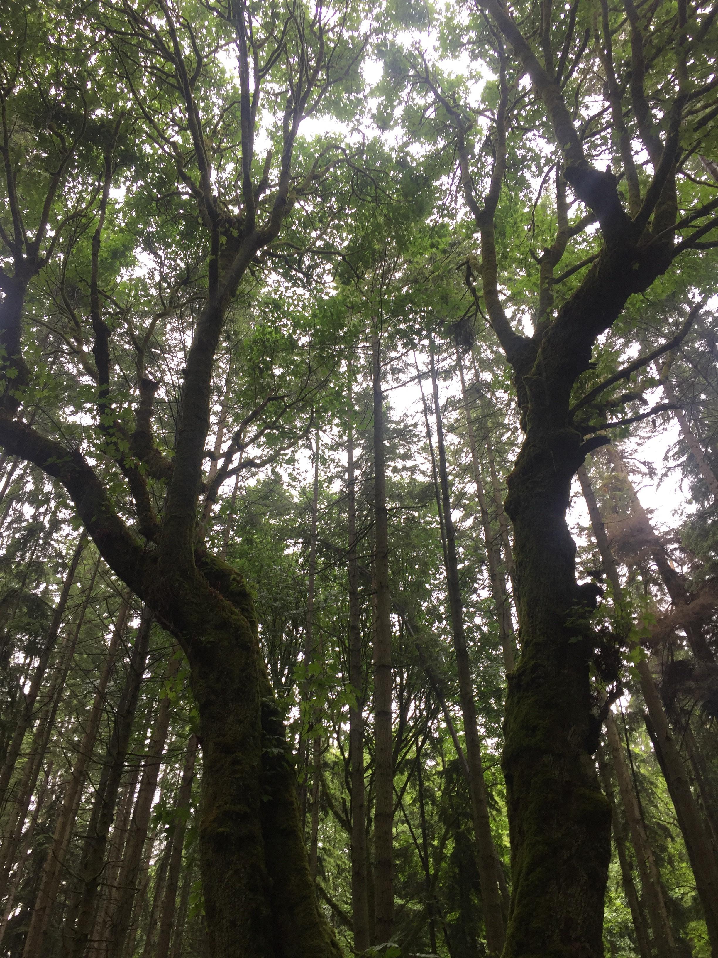 Bigleaf maple canopy.