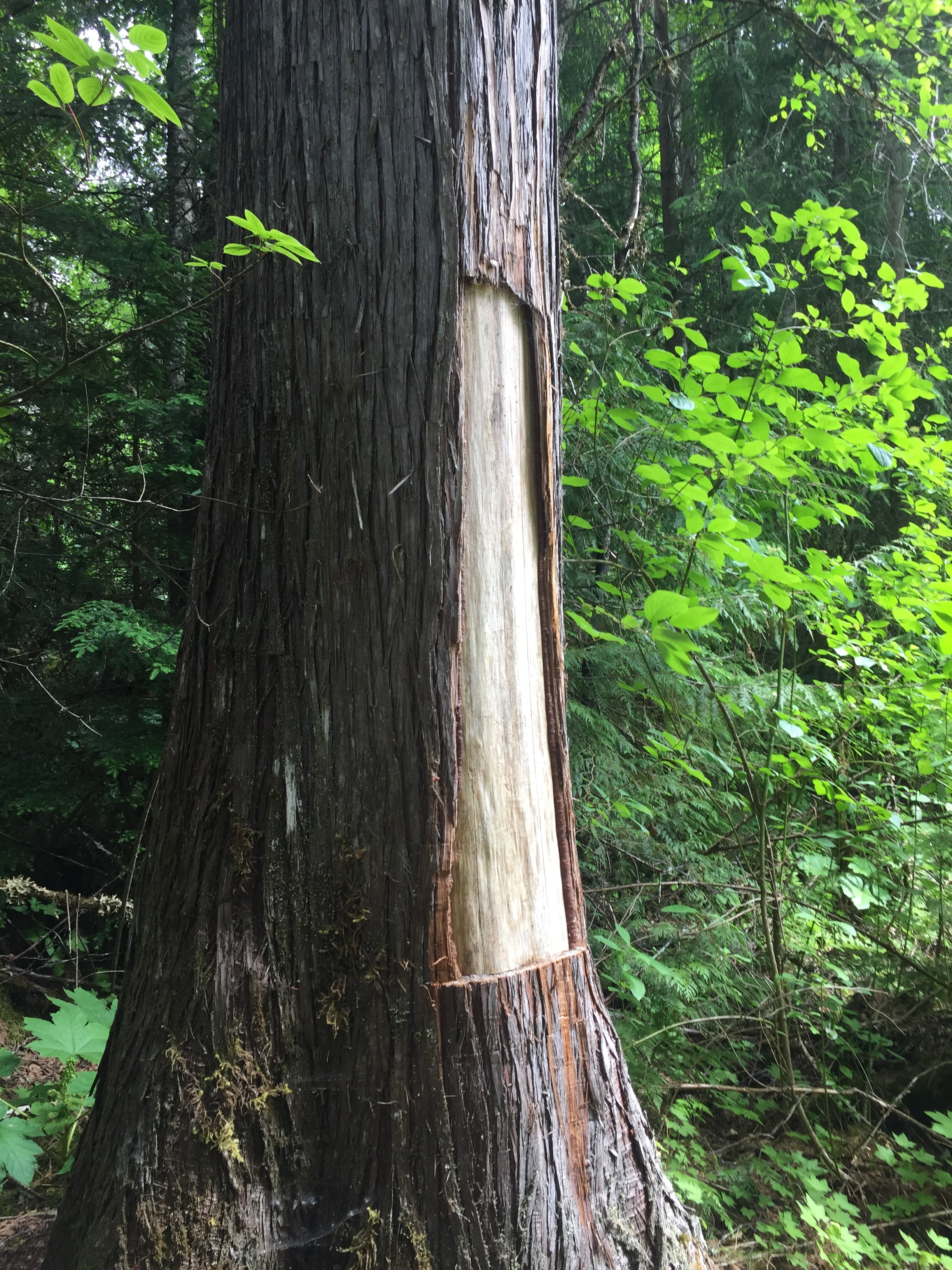 Culturally Modified Tree (CMT) at Ts'itksim Aks (Vetter Falls) in the Nass Valley.