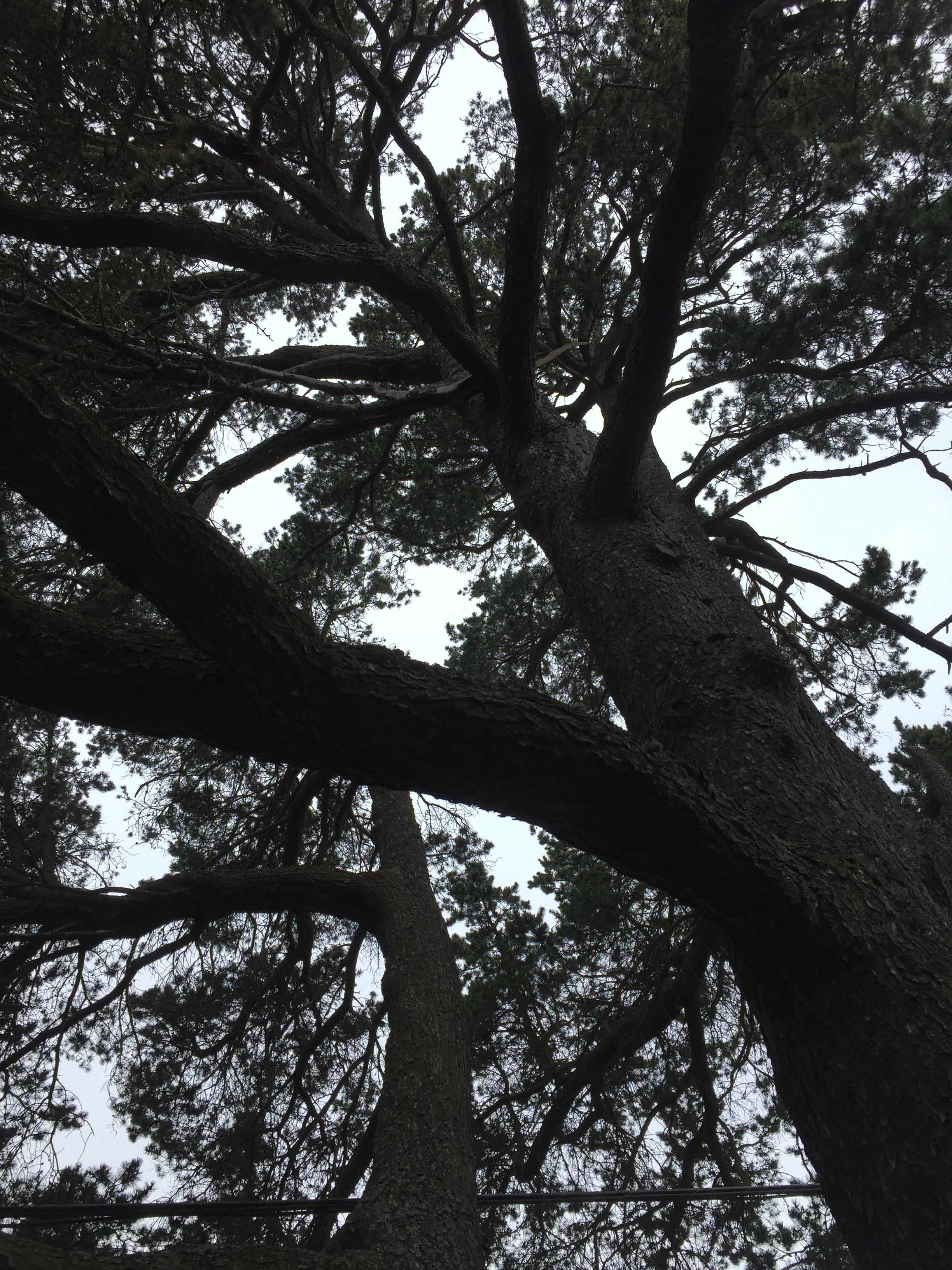 Shore pine canopy.