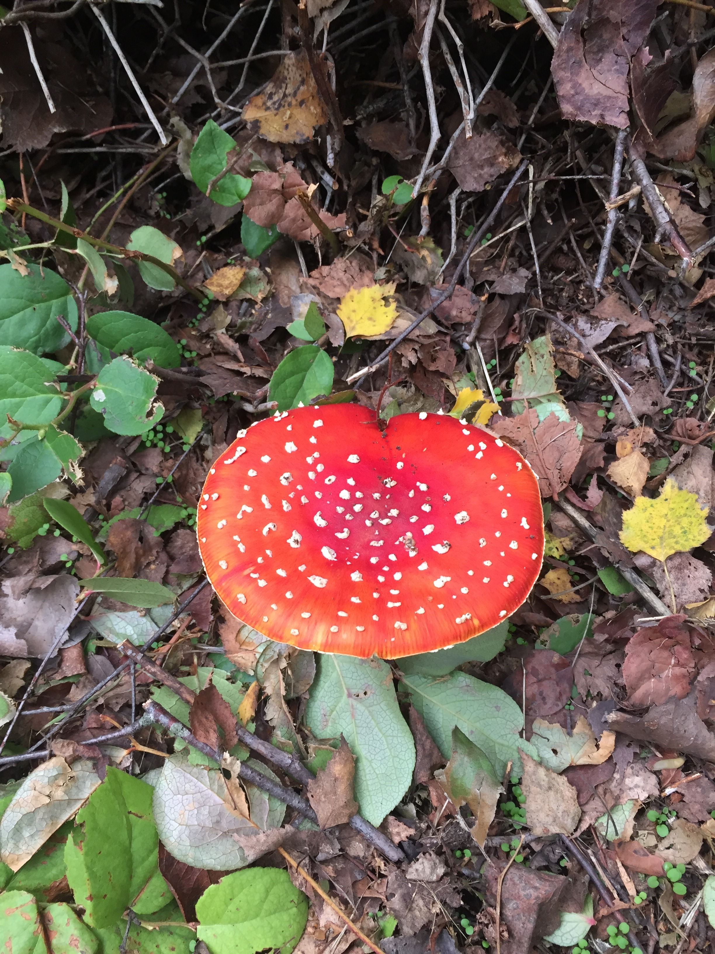 Fly agaric mushrooms along the Shell Road Trail, Richmond.