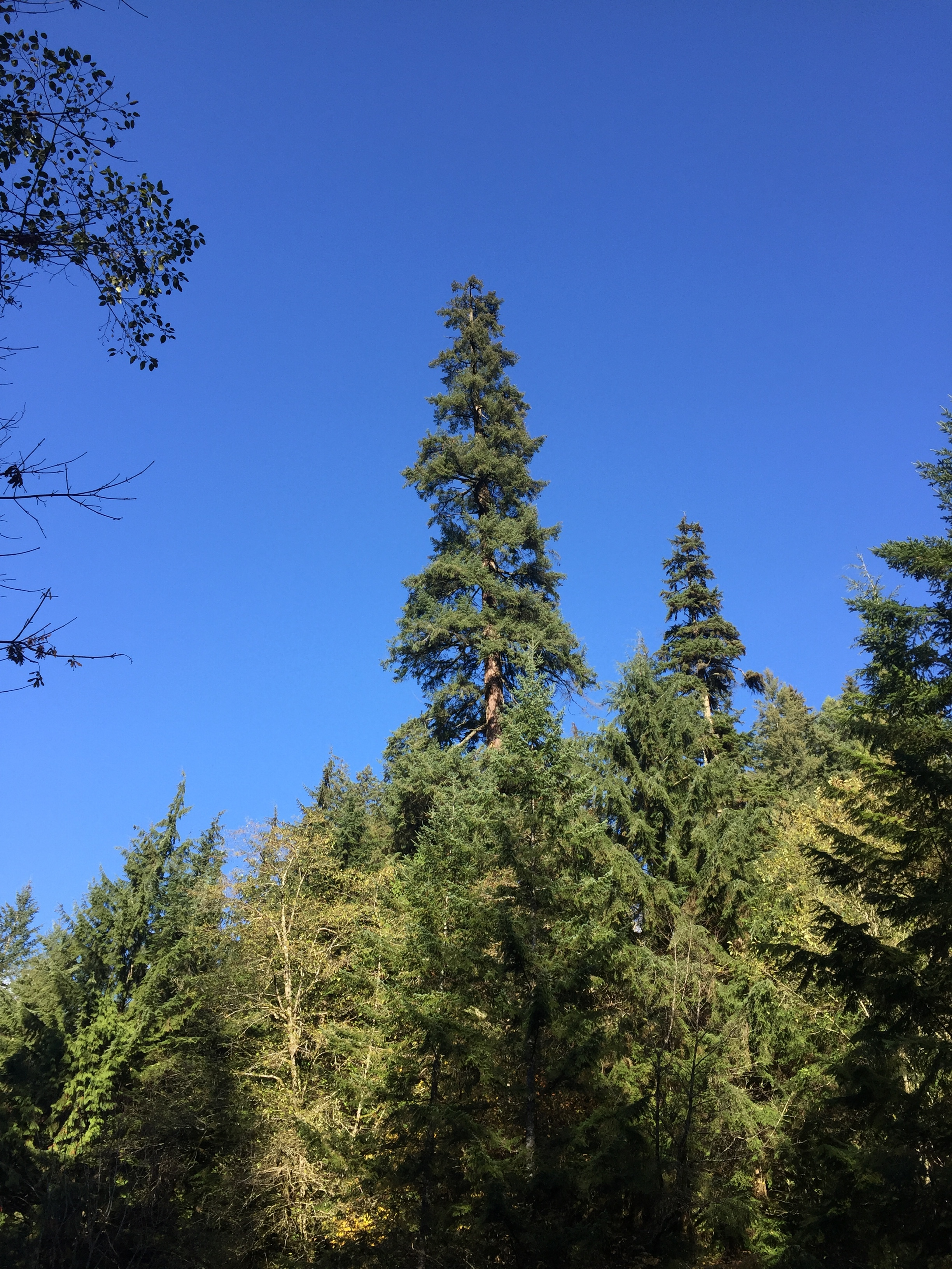 One of the tallest Douglas firs in the Vancouver area, towering over the other trees ringing the parking lot at the salmon hatchery.
