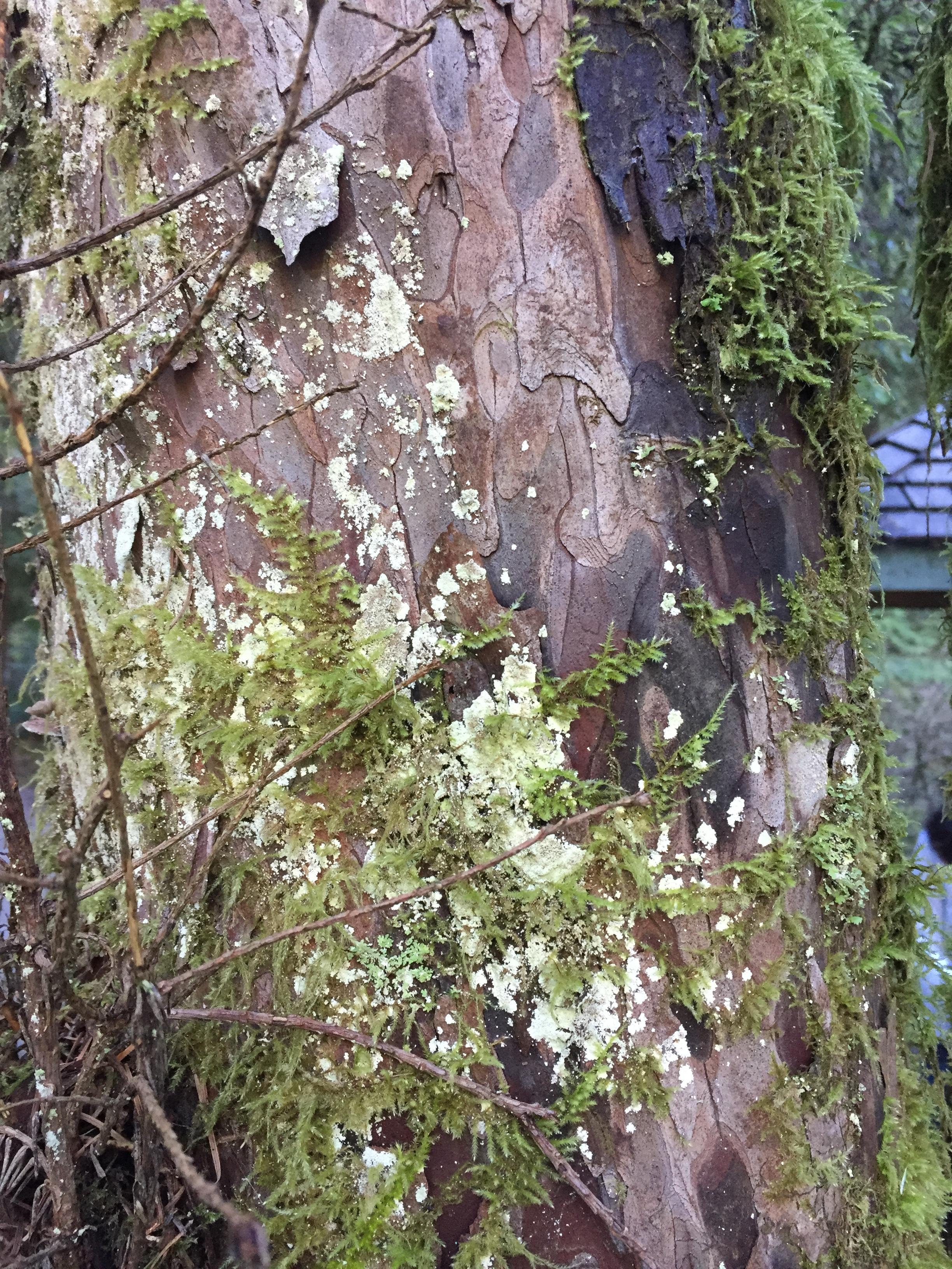 Pacific yew bark.