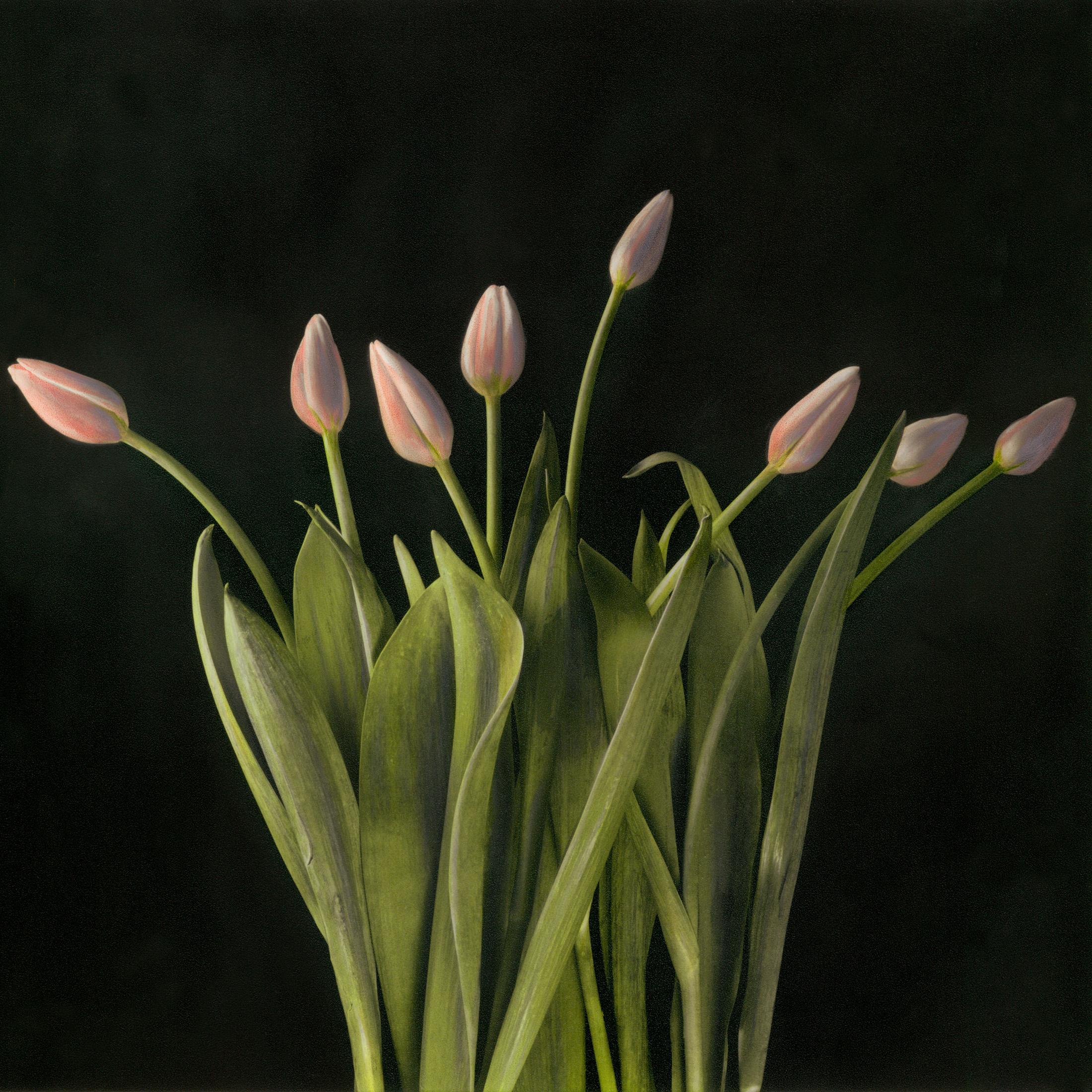 Tulip Buds