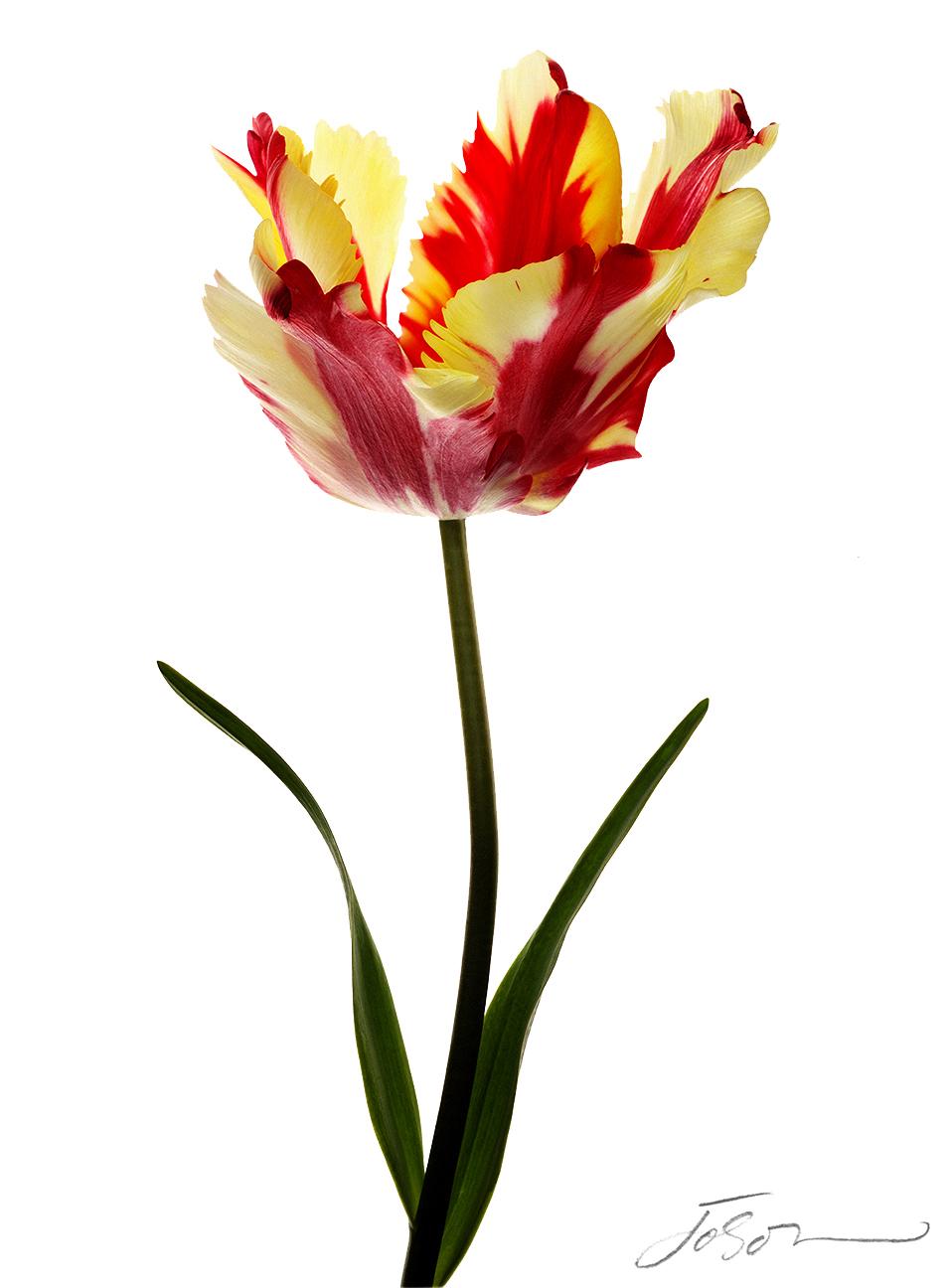 Texas Flame Tulip (Tulipa)